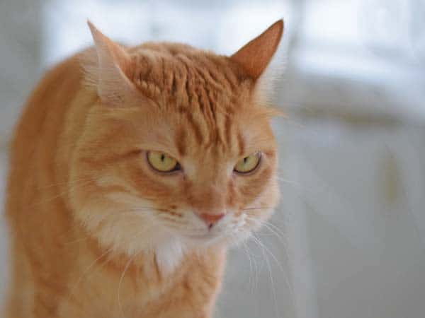 Orange tabby cat looks annoyed