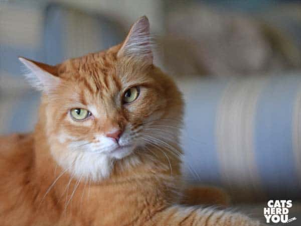 orange tabby cat looks out of frame