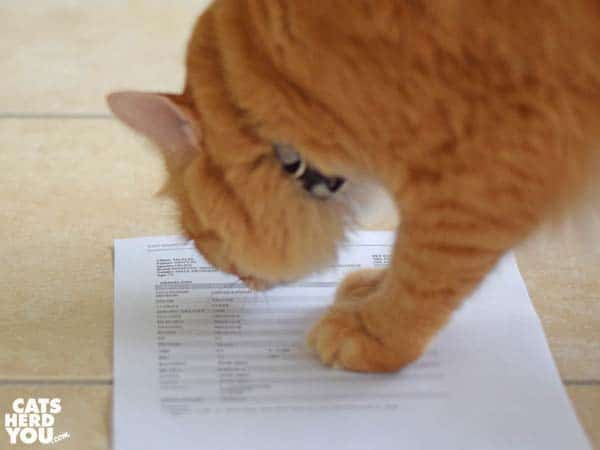 orange tabby cat reads test results