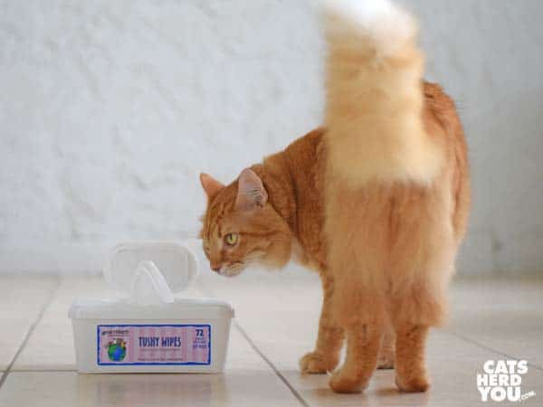orange tabby cat and Earthbath Tushy Wipes