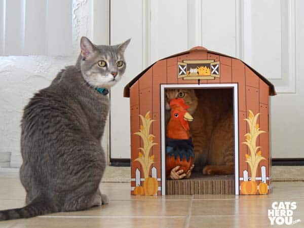 gray tabby cat sits outside barn while orange tabby cat inside barn licks rooster