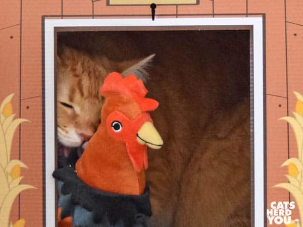 orange tabby cat licks plush rooster