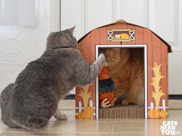 gray tabby cat swats orange tabby cat in barn