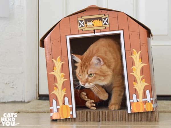 orange tabby cat exits barn