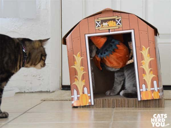 one-eyed brown tabby cat watches gray tabby cat in barn with rooster