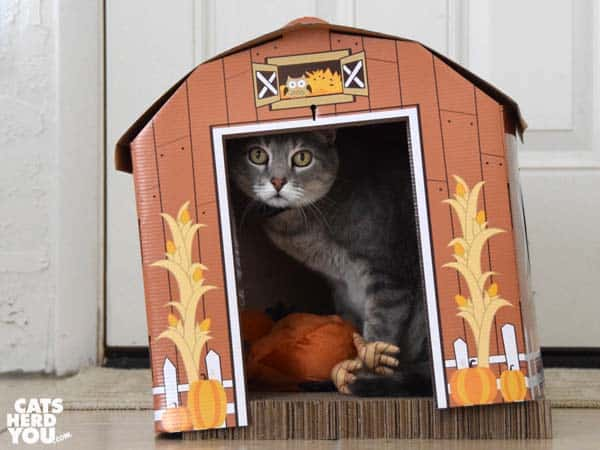 gray tabby cat in barn with rooster