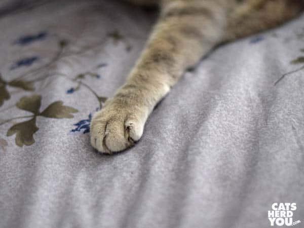 gray tabby cat paw