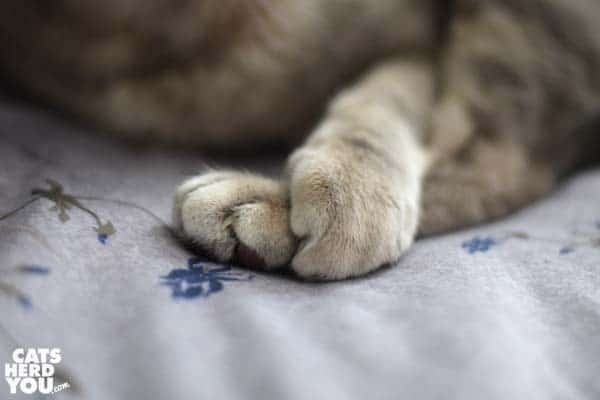 gray tabby cat paws