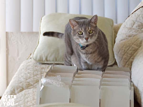 gray tabby cat investigates christmas ornament storage