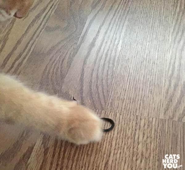 orange tabby cat paws snake