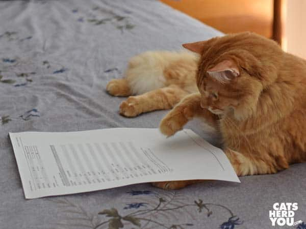 orange tabby cat looks at test results