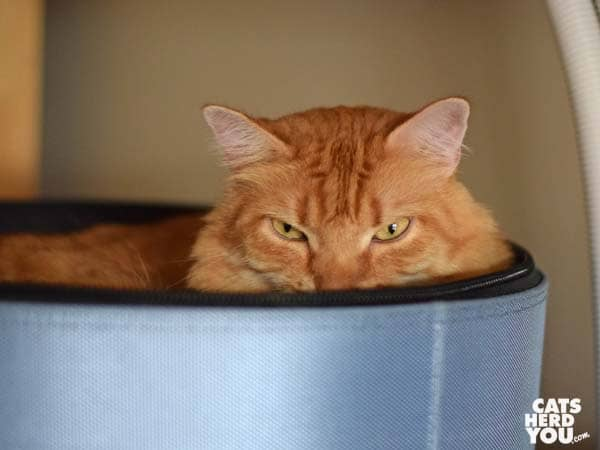 orange tabby cat in SleepyPod bed