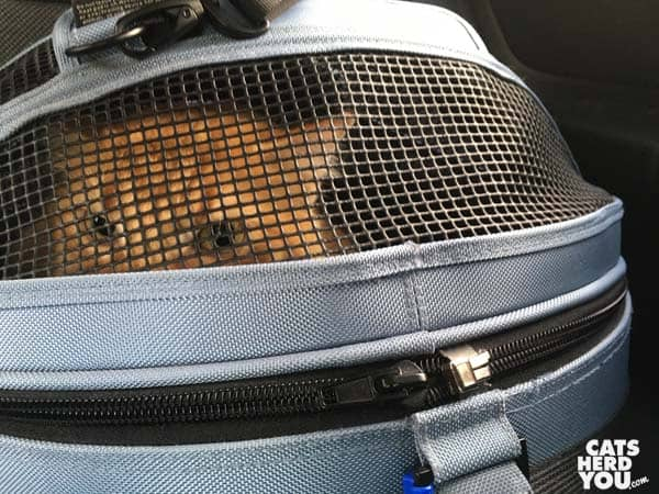 orange tabby cat in sleepypod carrier
