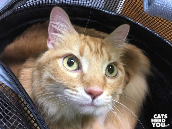 orange tabby cat peers out of carrier