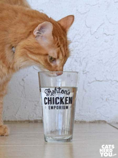 orange tabby cat drinks from Ashton's Chicken Emporium glass