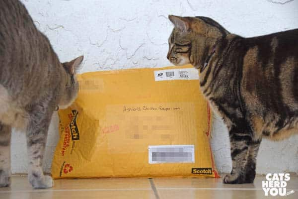 gray tabby cat and brown tabby cat look at envelope