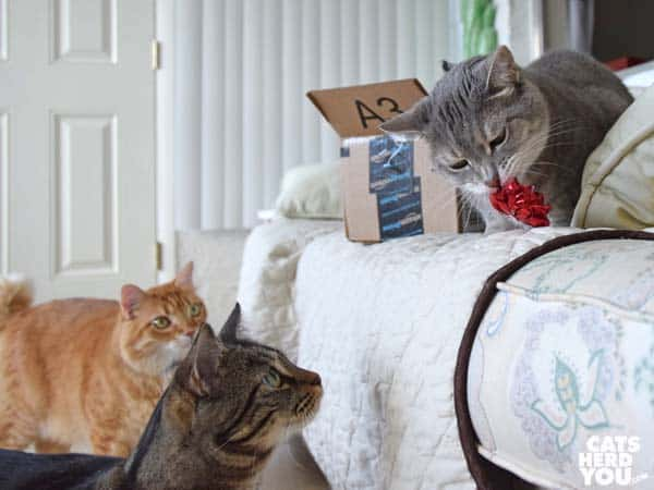 Gray tabby cat plays with bow while orange and brown tabby cats look on