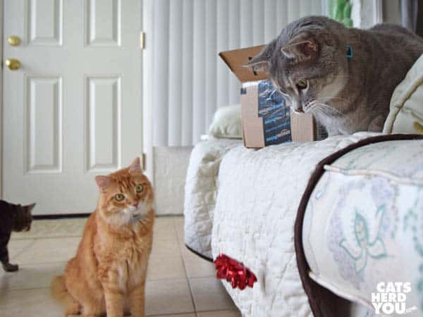 gray tabby cat drops bow while orange tabby cat looks on