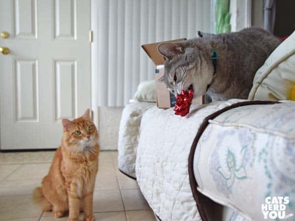 gray tabby cat with bow watched by orange tabby cat