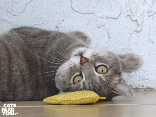 gray tabby cat upside down with catnip chicken toy