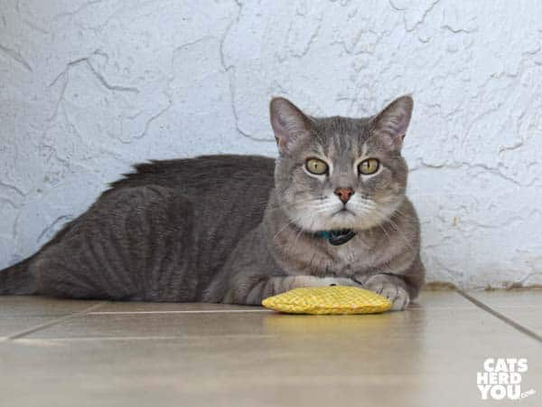 gray tabby cat with catnip chicken toy