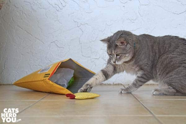 gray tabby cat plays with toy from envelope