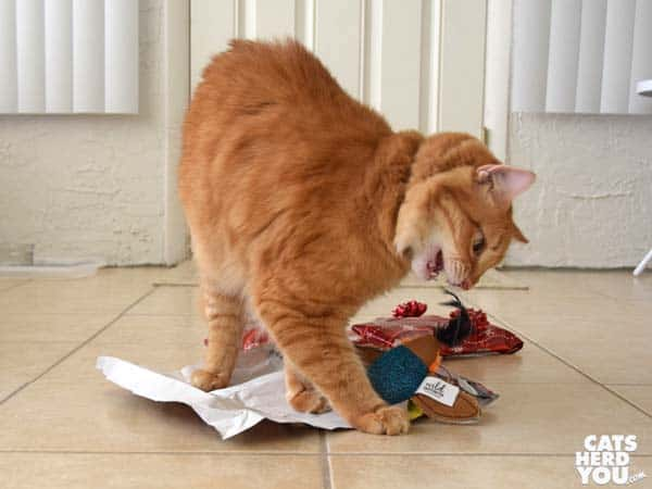 orange tabby cat plays with toy