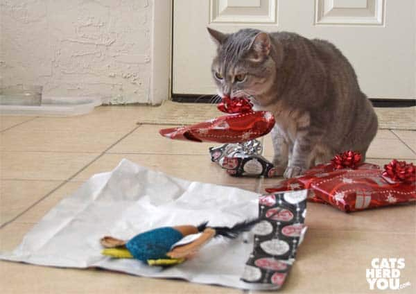 gray tabby cat lifts gift by bow