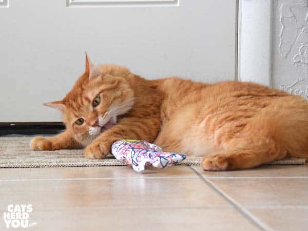orange tabby cat plays with catnip toy