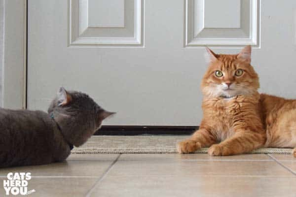 orange tabby cat reacts to gray tabby cat stealing toy