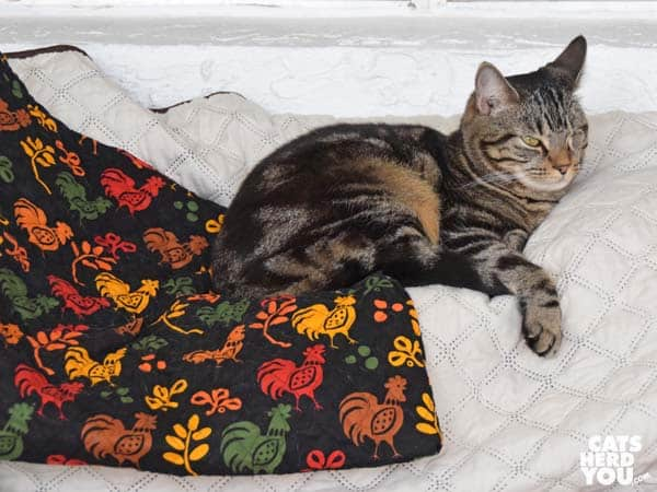 one-eyed brown tabby cat not sitting on chicken quilt