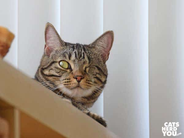 one-eyed brown tabby cat on shelf