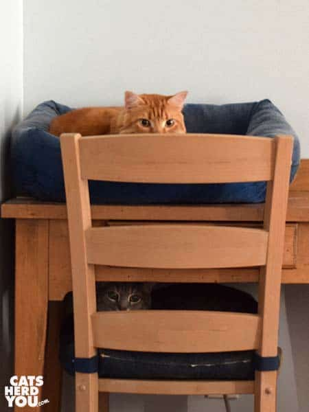 orange tabby cat and gray tabby cat simulate a bunk bed