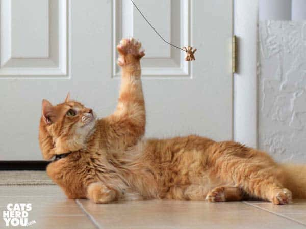 lounging orange tabby cat reaches for dangling toy