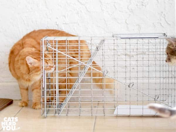 orange tabby cat looks at humane trap