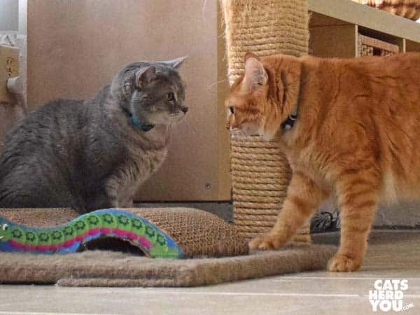 gray tabby cat and orange tabby cat face off