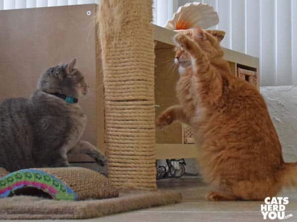 gray tabby cat and orange tabby cat fight around tree