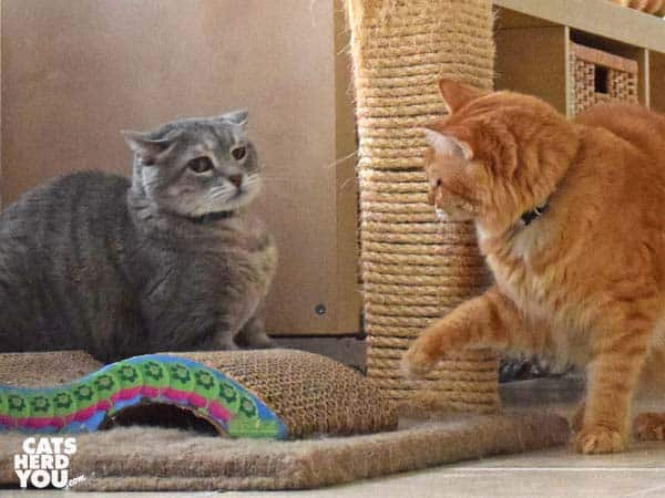 gray tabby cat looks apprehensive at orange tabby cat