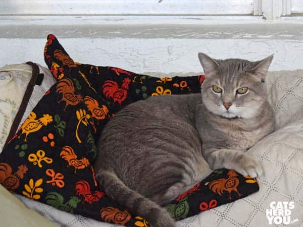 gray tabby cat on chicken quilt