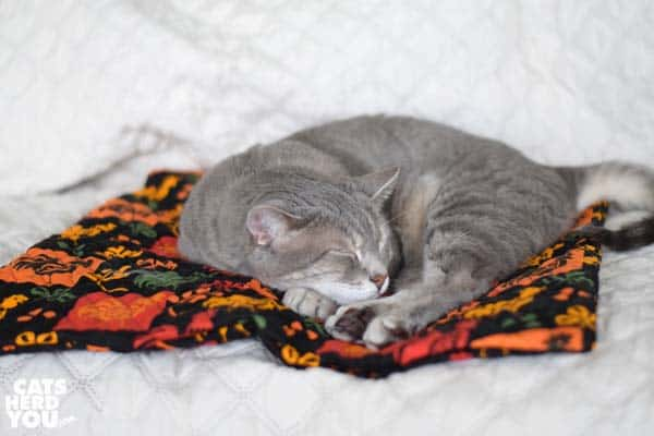 gray tabby cat sleeps on chicken quilt
