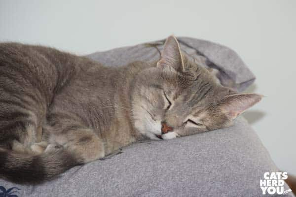 gray tabby cat napping
