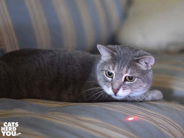 gray tabby cat and the red dot