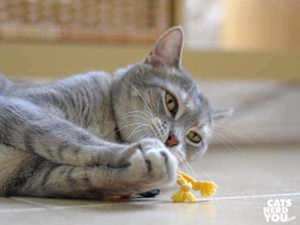 gray tabby cat plays with unstuffed rooster toy