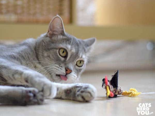 gray tabby cat and unstuffed rooster toy