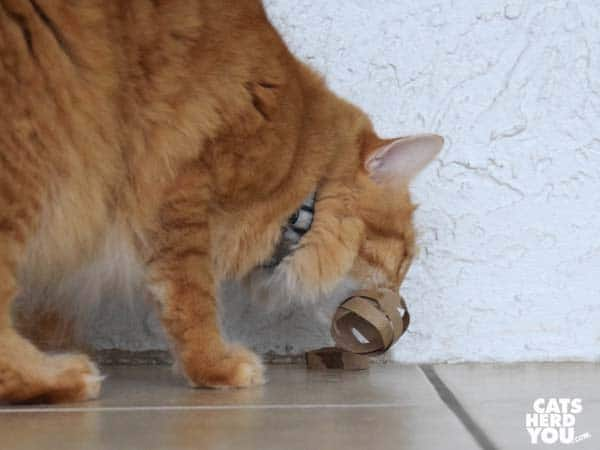 orange tabby cat destroys homemade cat toy