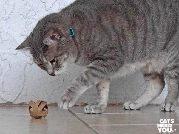 gray tabby cat with homemade cat toy