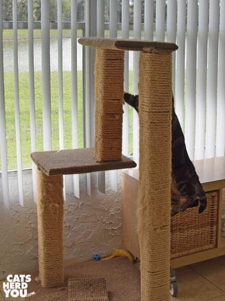 one-eyed broen tabby cat climbs cat tree