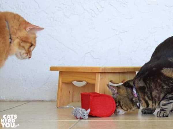 one-eyed brown tabby cat looks under fallen valentine mailbox