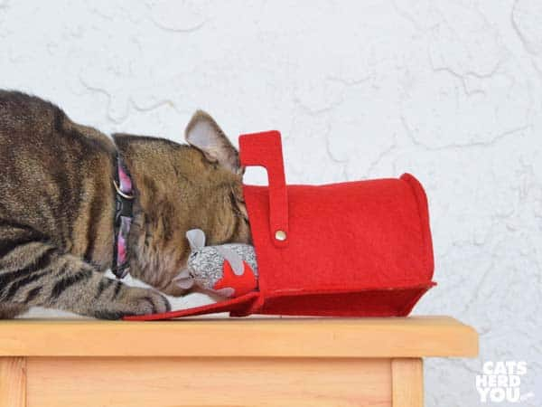one-eyed brown tabby cat noses into valentine mailbox