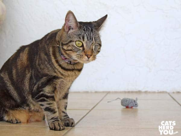 one-eyed brown tabby cat ignores valentine mouse